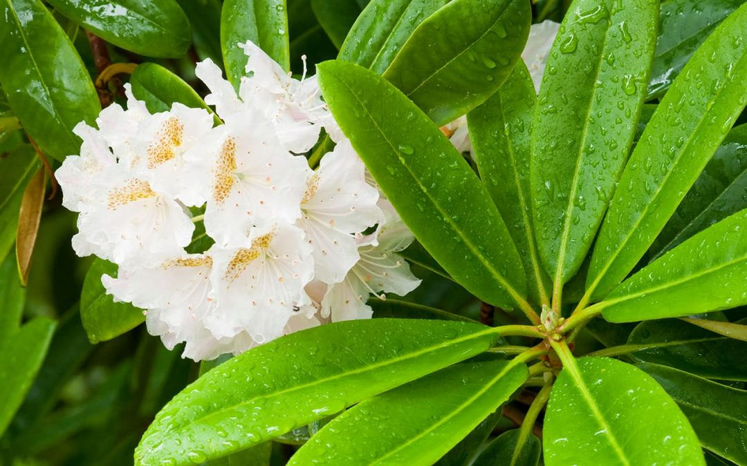 Azaleas: The Perfect Flowering Hedge